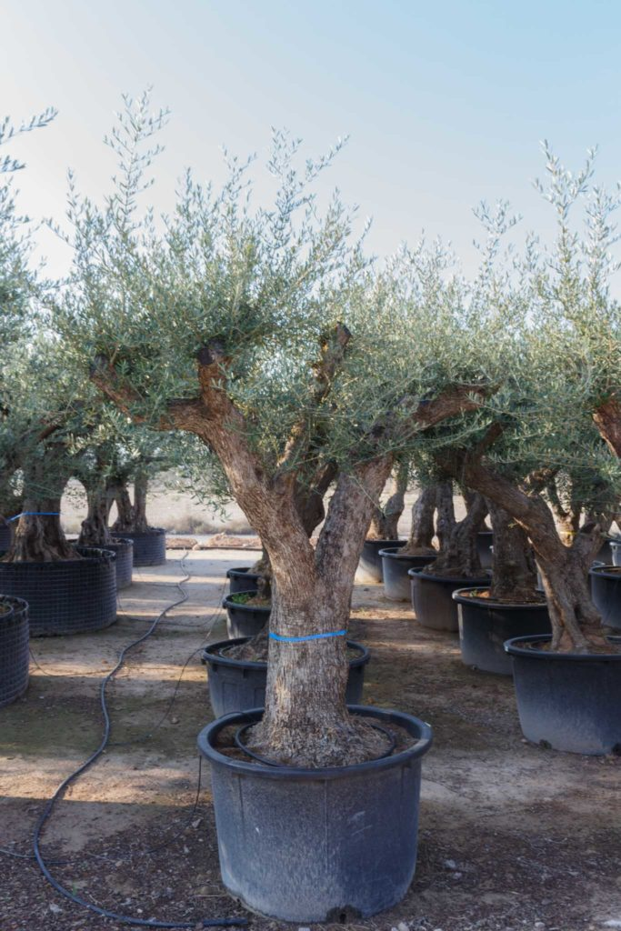 Olive tree old trunk pot